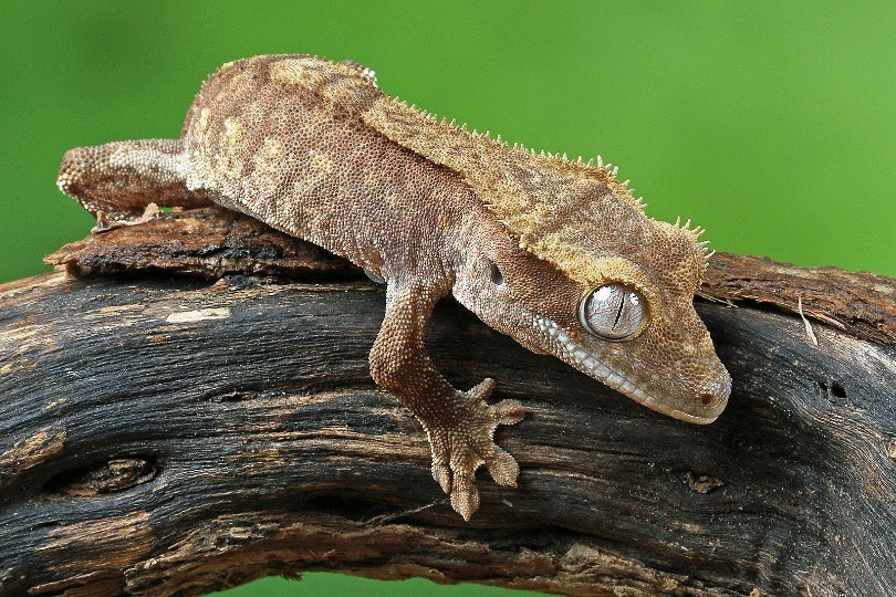 crested gecko crawling on a tree branch