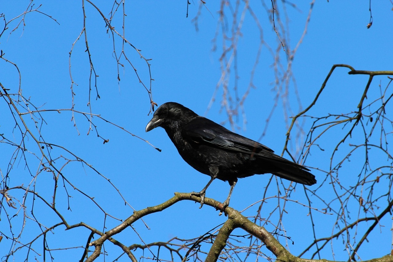 crow in the tree