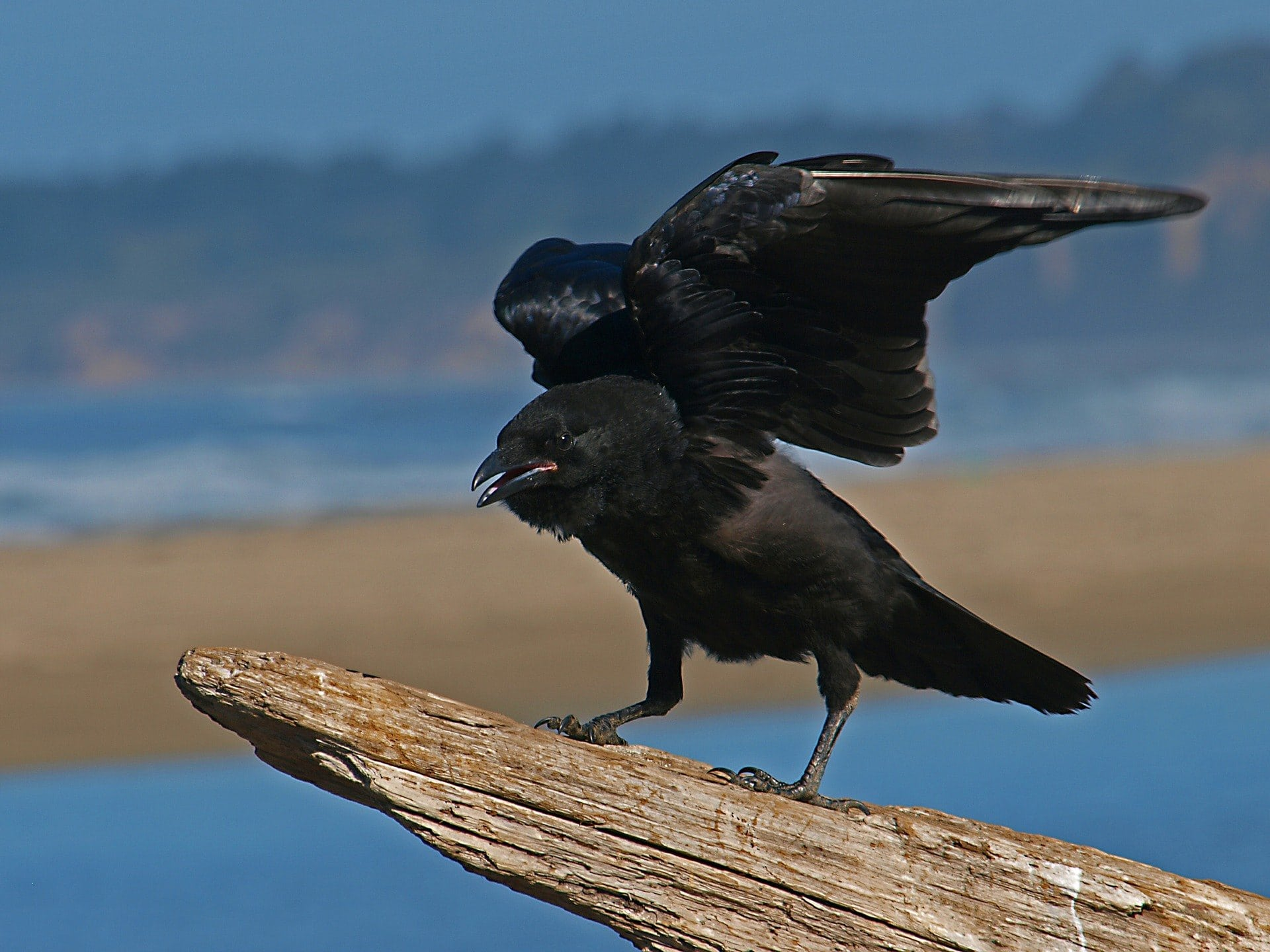 crow in the wild
