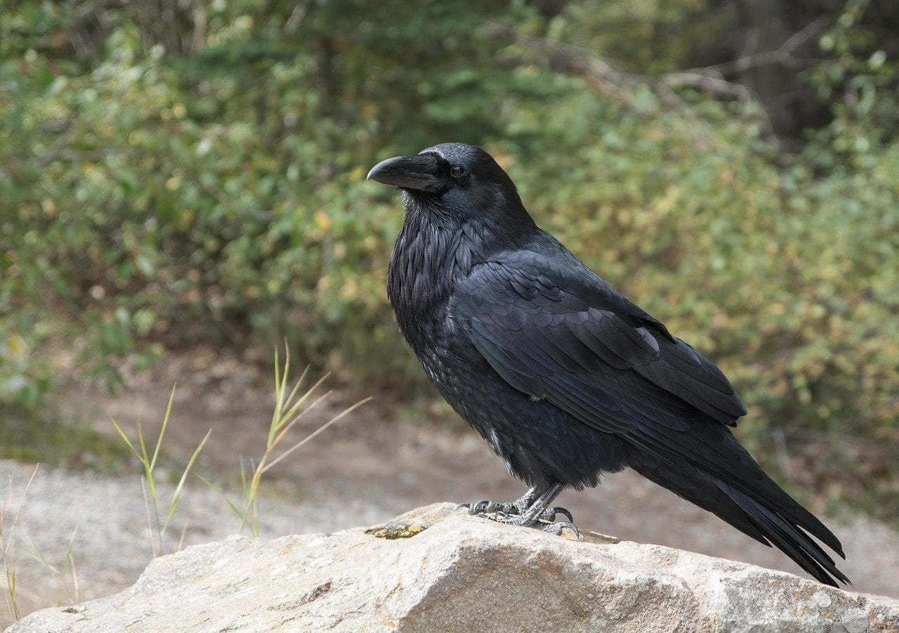 crow outdoors