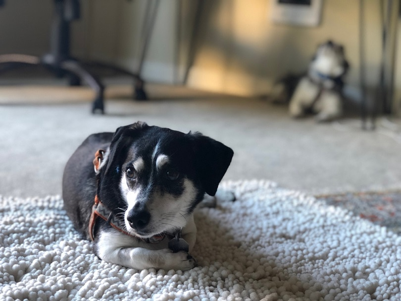 dachshund and rat terrier mix
