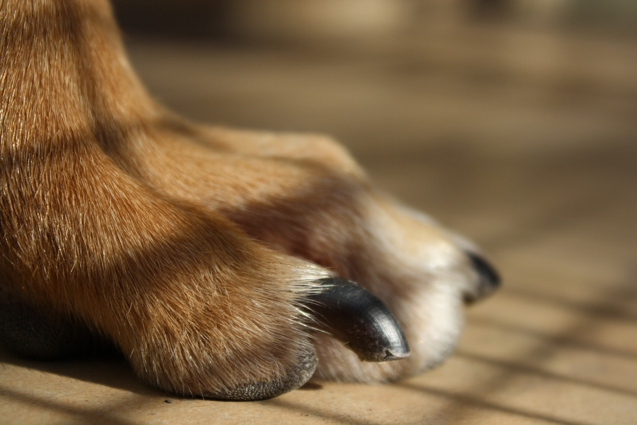 dog paw nail