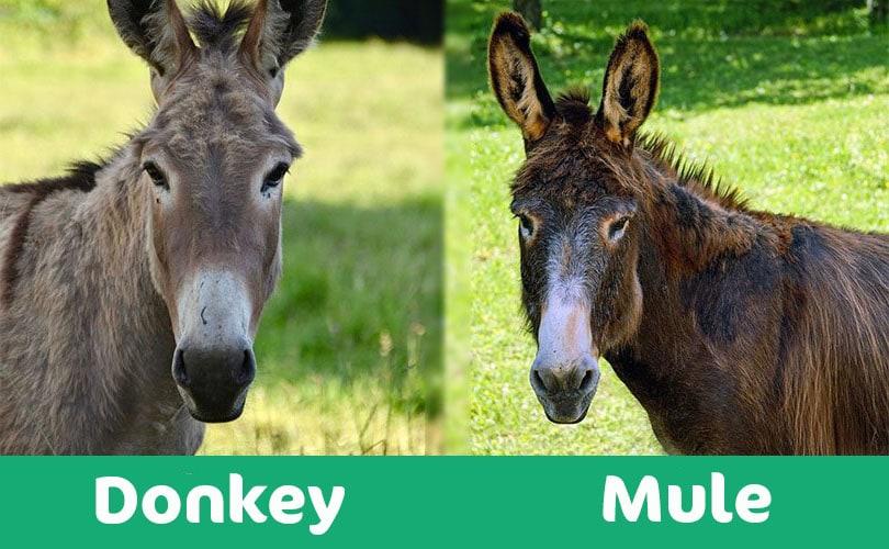 donkey vs mule