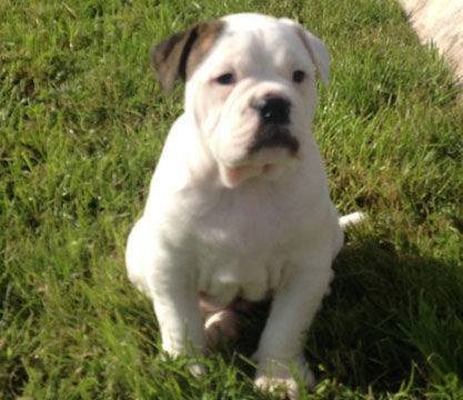 Dorset Olde Tyme Bulldogge Pupppy