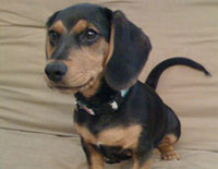 Beagle/Dachshund Mix