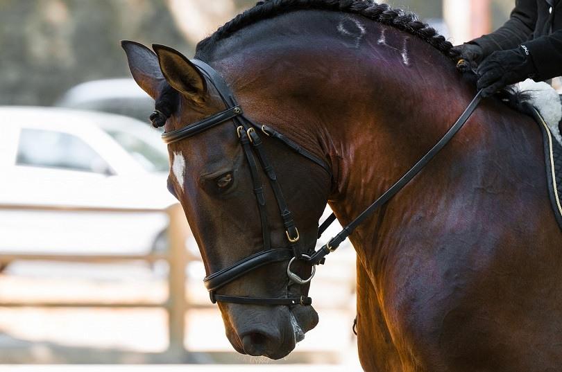 dressage horse-pixabay