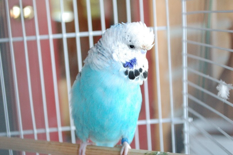 english budgie in a cage