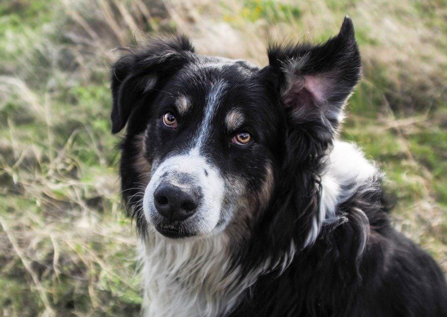 english shepherd_Robert F Apple, Shutterstock