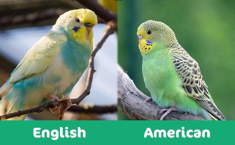 english vs american budgie