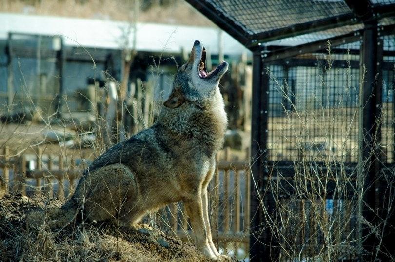 eurasian wolf howling