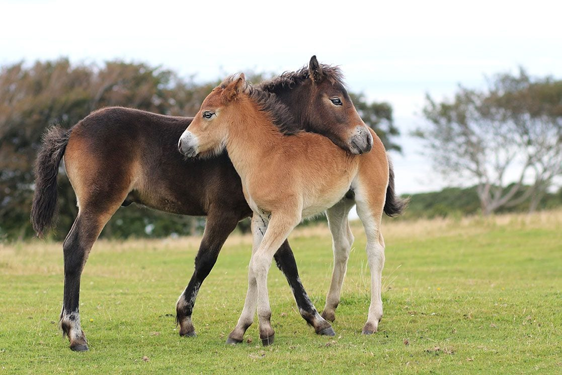 exmoor pony mother and foal
