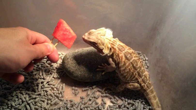 feeding watermelon to a bearded dragon