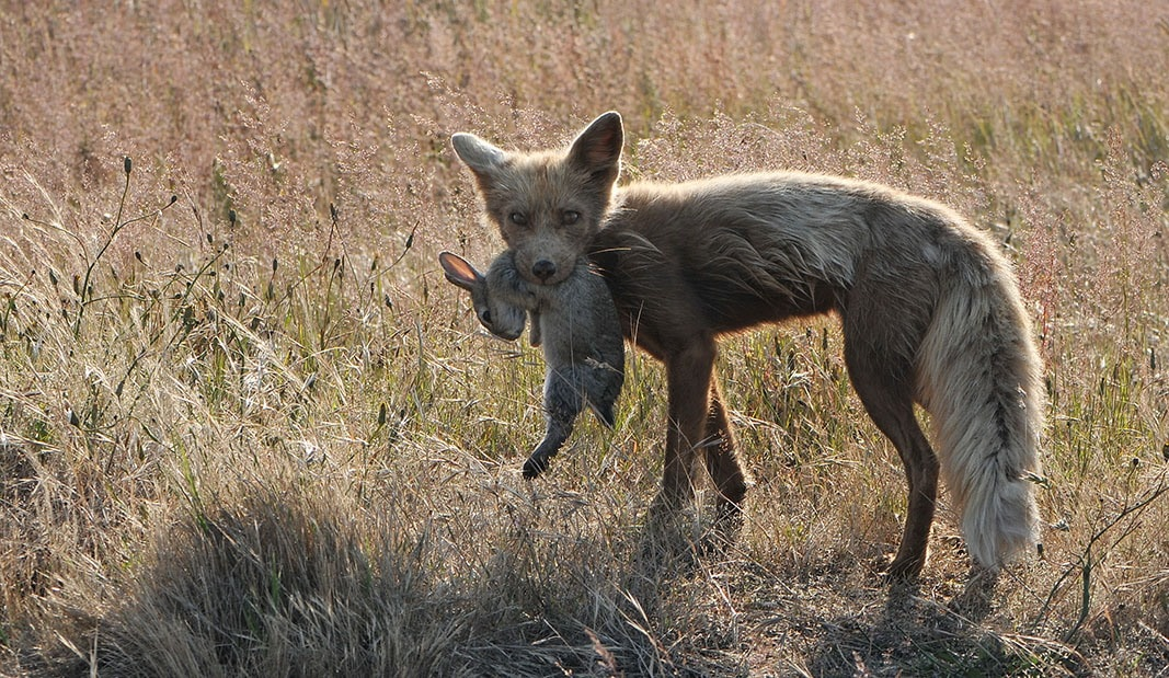 fox biting a rabbit