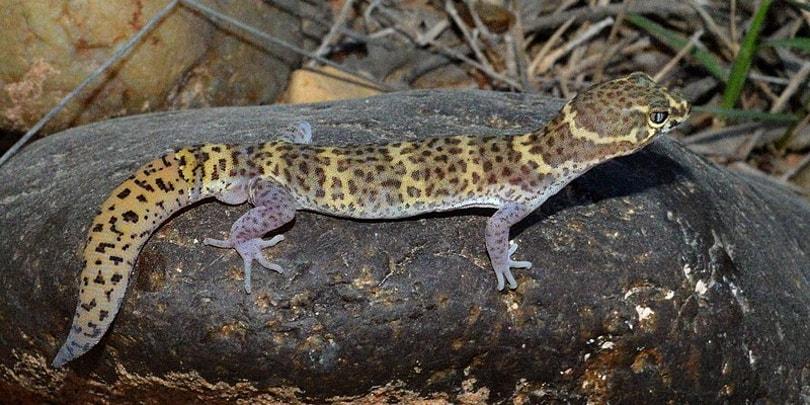 gecko at night_Wilafa_Wikimedia
