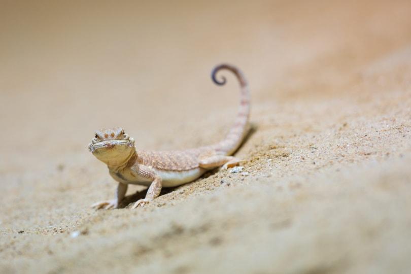 gecko-in-desert_Piqsels