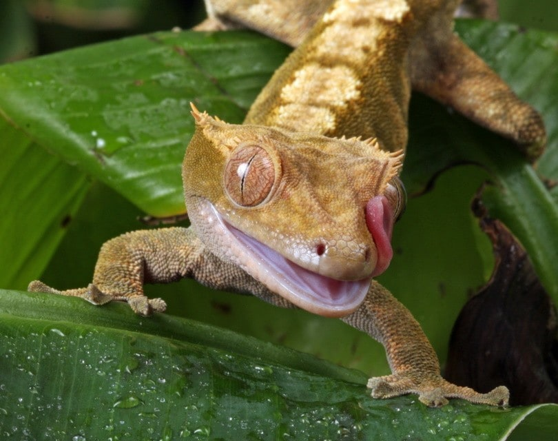 gecko teeth_No-longer-here_Pixabay