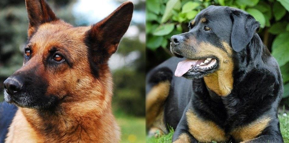 german-shepherd-rottweiler-parents