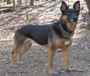 German Shepherd Doberman Mix