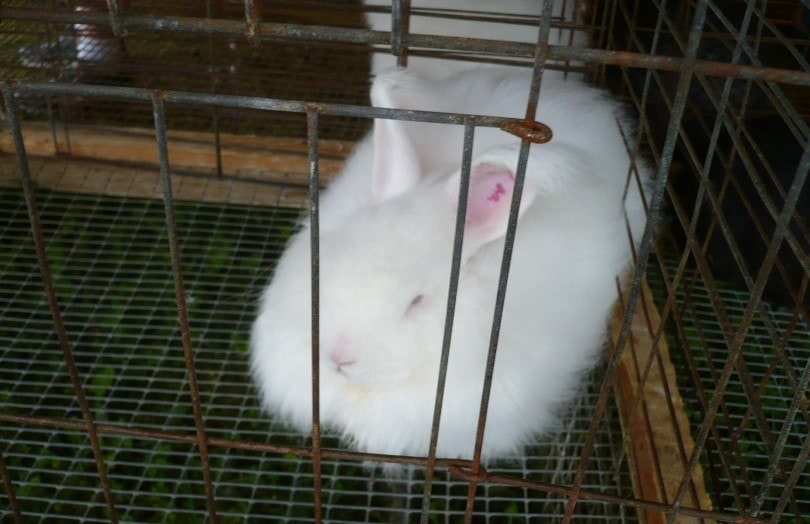 giant angora rabbit in a cage