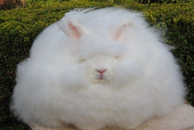 giant angora rabbit sleeping