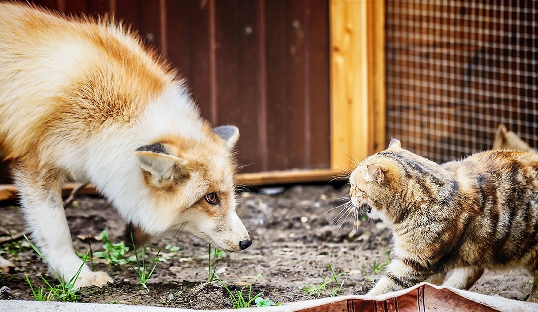 golden fox and a cat