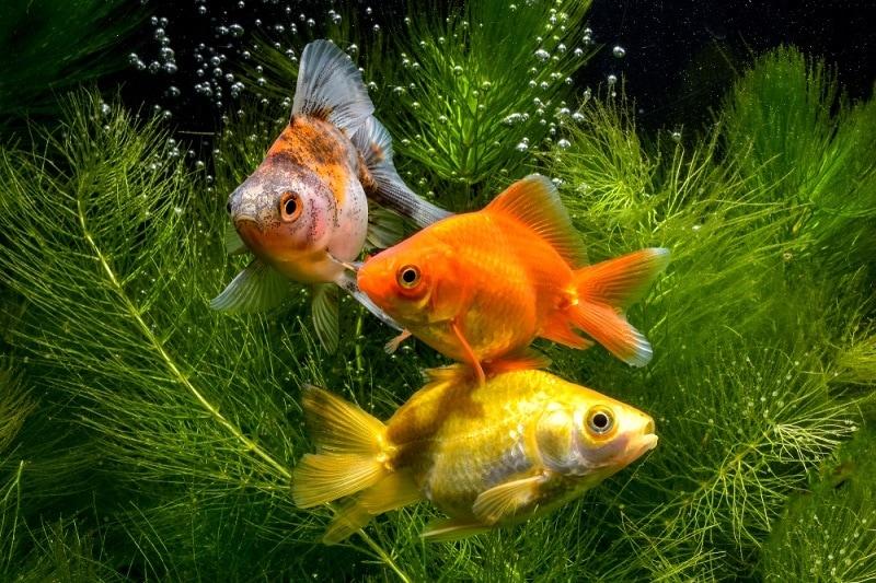 goldfish plant_gunungkawi, Shutterstock