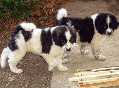 Greek Sheepdog Puppy