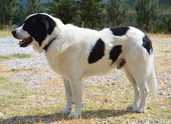 Greek Sheepdog