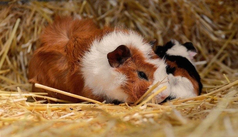 guinea pig eating hays