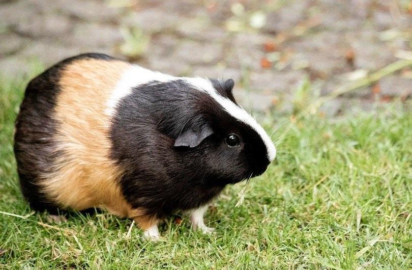 guinea pig_minka2507, Pixabay