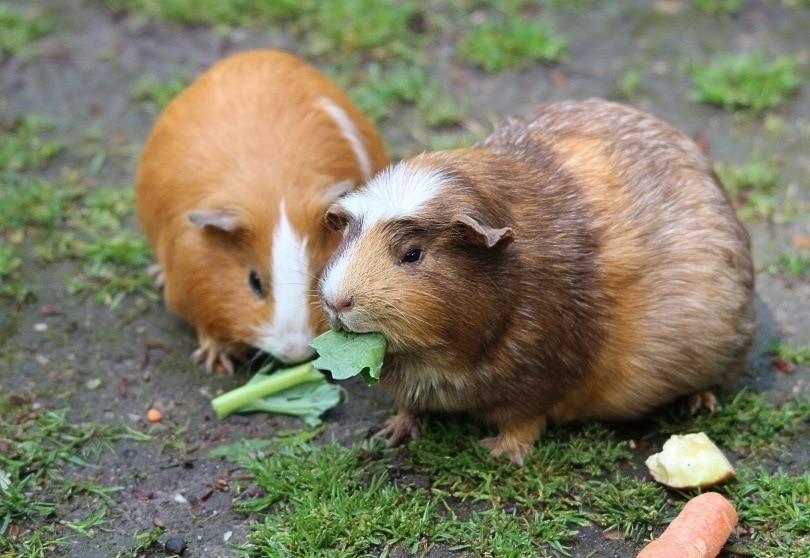 guinea pig_Frauke Feind_Pixabay