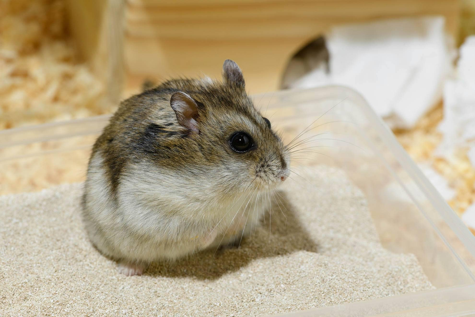 hamster enjoying a sand bath