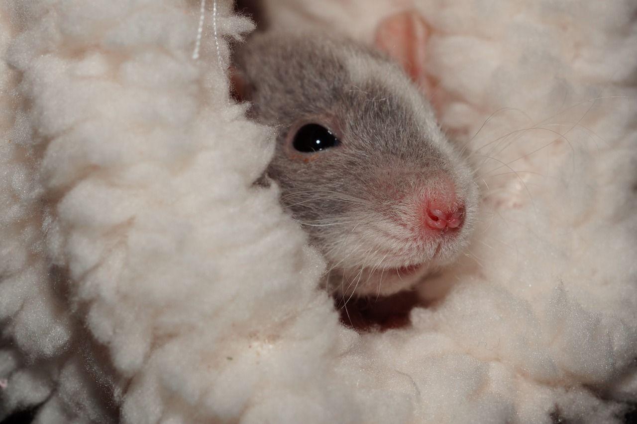 hamster in a hammock