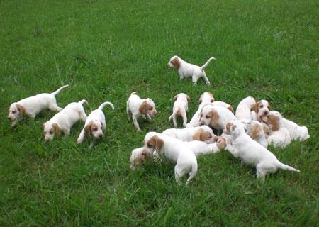 Istrian Coarse-haired Hound Puppy