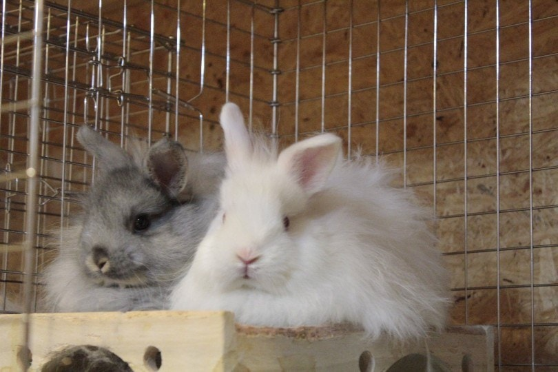 jersey wooly rabbits in cage