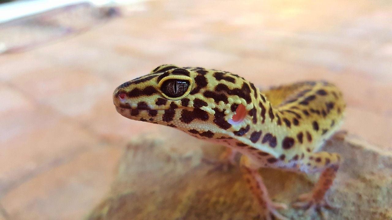 leopard gecko close up