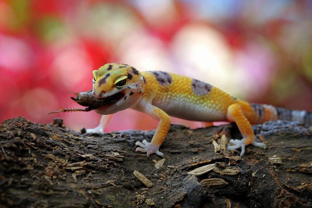 leopard gecko eating_Kurit afshen_Shutterstock