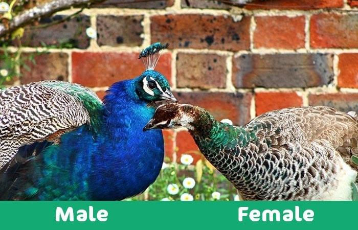 male vs female peacock visual