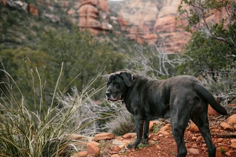 mastador labrador mastiff mixed breed dog