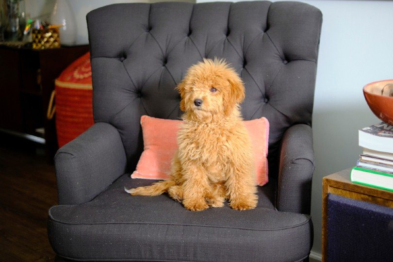 mini golden doodle puppy sitting in the couch
