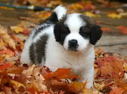 Nehi Saint Bernard puppy