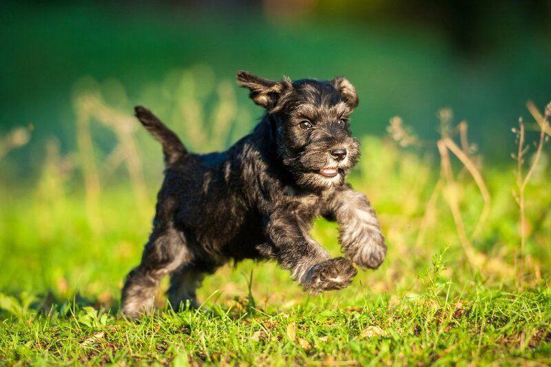 miniature_schnauzer_puppy_playing_grigorita_ko_shutterstock