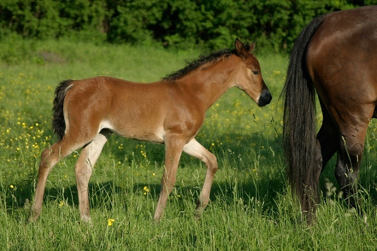 morgan pony
