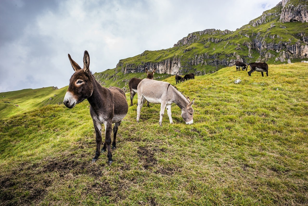 mules in the mountain