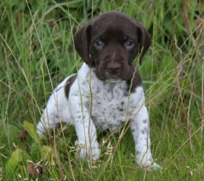 Old Danish Pointer Pupppy