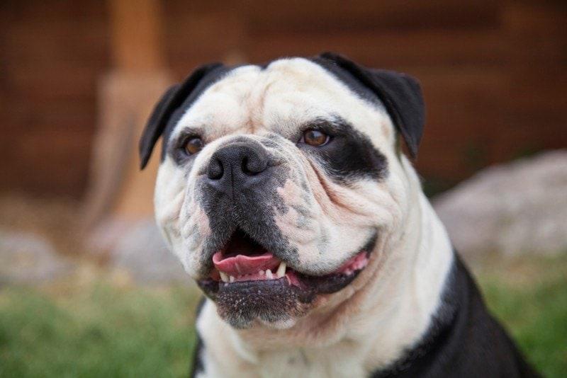 olde english bulldogge smiling