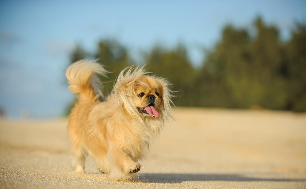 pekingese walking_everydoghasastory, Shutterstock