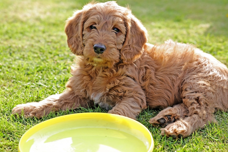 petite Labradoodle puppy on grass