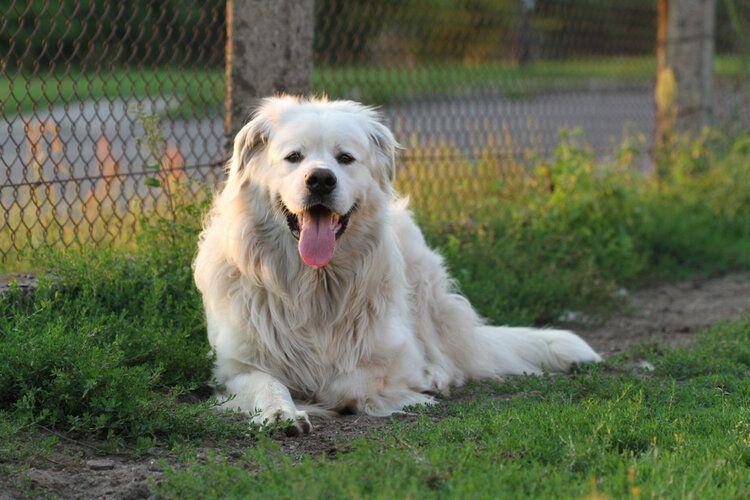 polish tatra sheepdog lying on grass smiling