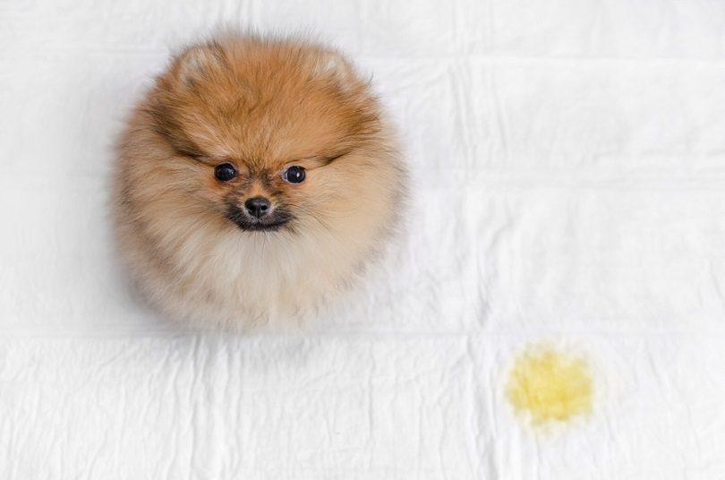 pomeranian puppy with urine stain